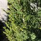 #5 Juniperus chin Hetzii Columnaris/Green Columnar Juniper