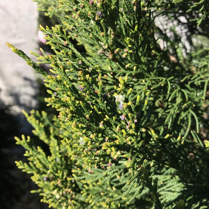 #7 Juniperus chin Hetzii Columnaris/Green Columnar Juniper