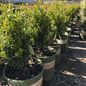 #2 Buxus sempervirens Green Tower/Columnar Boxwood