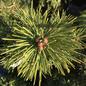 #6 Pinus bungeana Rowe Arboretum/Lacebark Pine