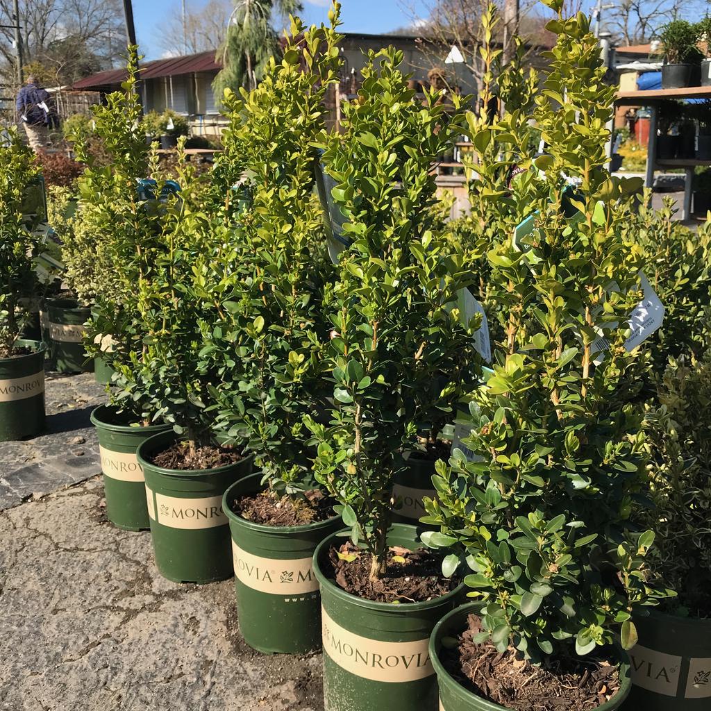 #1 Buxus sempervirens Green Tower/Columnar Boxwood
