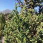 #7 Juniperus x Star Power/Hybrid Juniper Upright