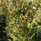 #5 Thuja plicata Can Can/Arborvitae Pyramidal