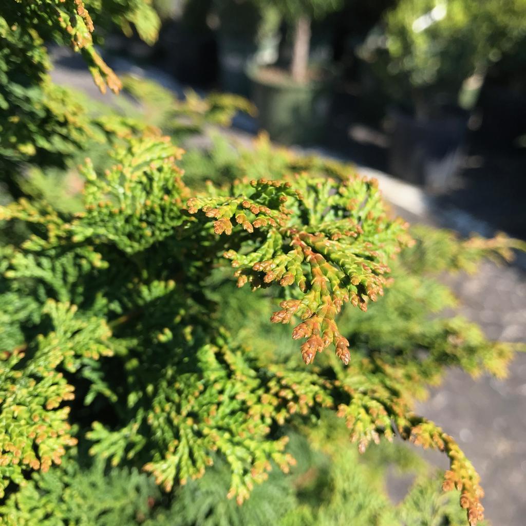 #6 Chamaecyparis obt Iseli Green/Hinoki Falsecypress