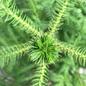 6p! Araucaria/Norfolk Island Pine /Tropical