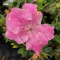 #3 Azalea Pink Adoration/Rebloom