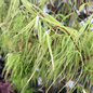 #1 Acer pal Koto-No-Ito/Harp String Japanese Maple Threadleaf Green Dwarf