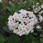 #2 Viburnum x Burkwoodii/Fragrant