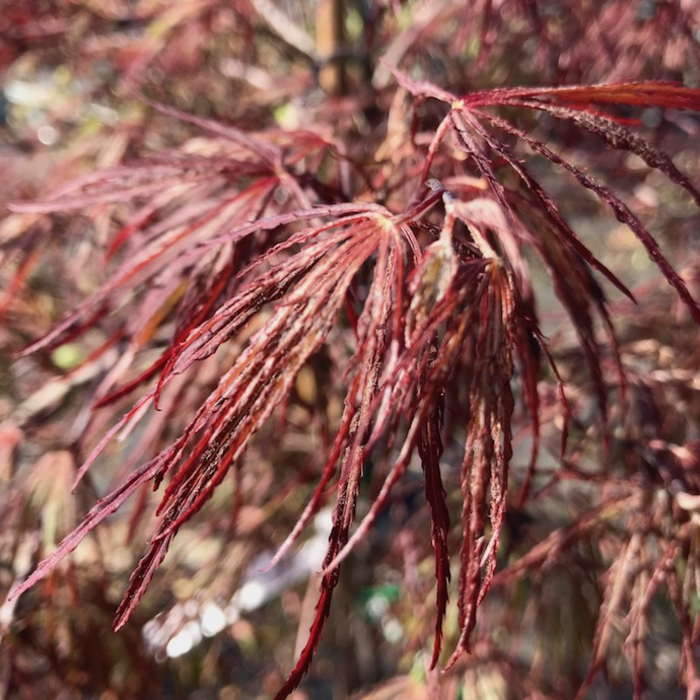 #15 BOX Acer pal var diss Crimson Queen/Japanese Maple Red Weeping