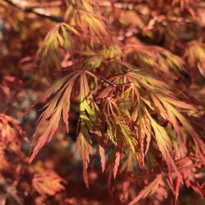 #6 Acer pal var diss Orangeola/Japanese Maple Red Weeping