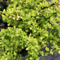 #1 Berberis thun Tiny Gold/Barberry