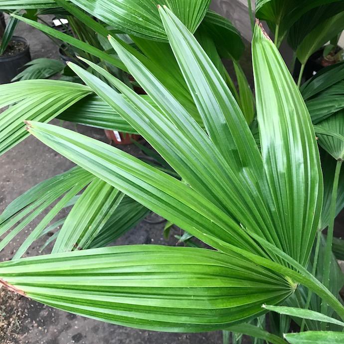 10p! Palm Livistonia / Chinese Fan Palm /Tropical