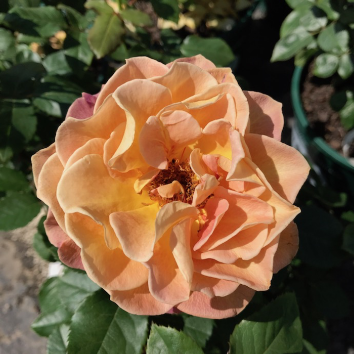 #3 Rosa Rosie the Riveter/Floribunda Rose NO WARRANTY