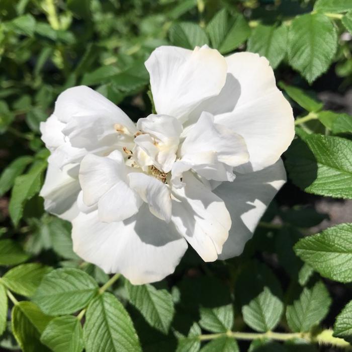 #3 Rosa Blanc Double de Coubert/Rugosa Rose No Warranty