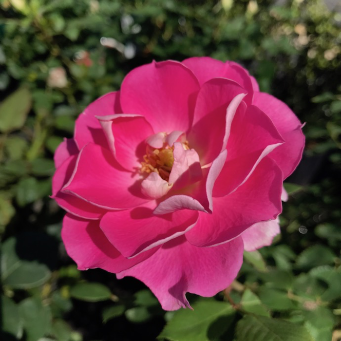 #3 Rosa Carefree Wonder/Shrub Rose Pink No Warranty