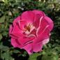 #3 Rosa Carefree Wonder/Shrub Rose Pink No Warranty