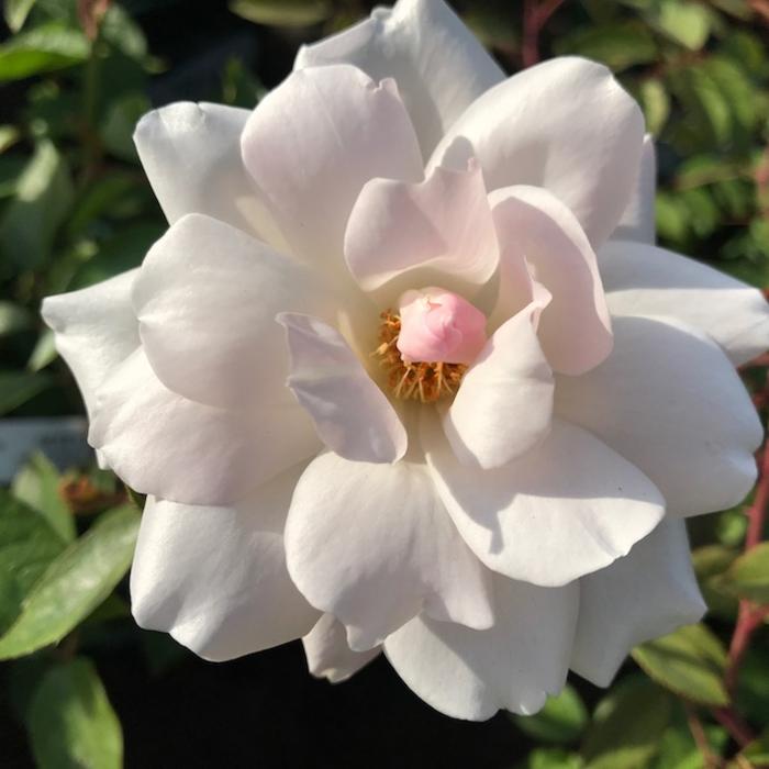 #3 Rosa Iceberg/Climbing Rose White NO WARRANTY