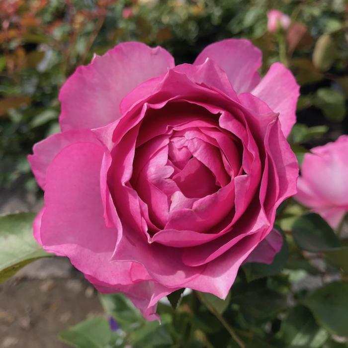 #3 Rosa 'WEKstameda'/Love Song Floribunda Rose NO WARRANTY