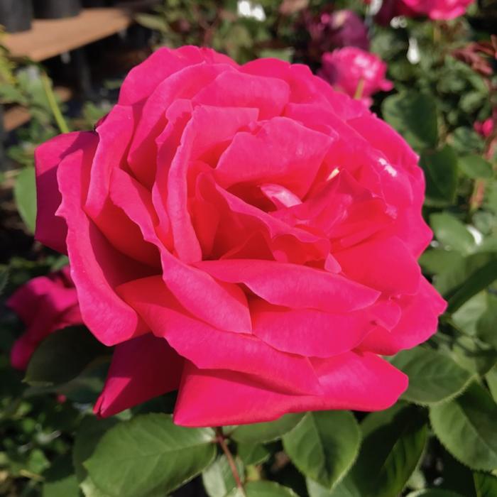 #3 Rosa x 'Miss All American Beauty'/Hybrid Tea Rose Pink NO WARRANTY