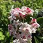 #5 Viburnum x Juddii/Fragrant