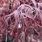 #6 Acer pal Pung Kil/Japanese Maple Threadleaf Red Upright