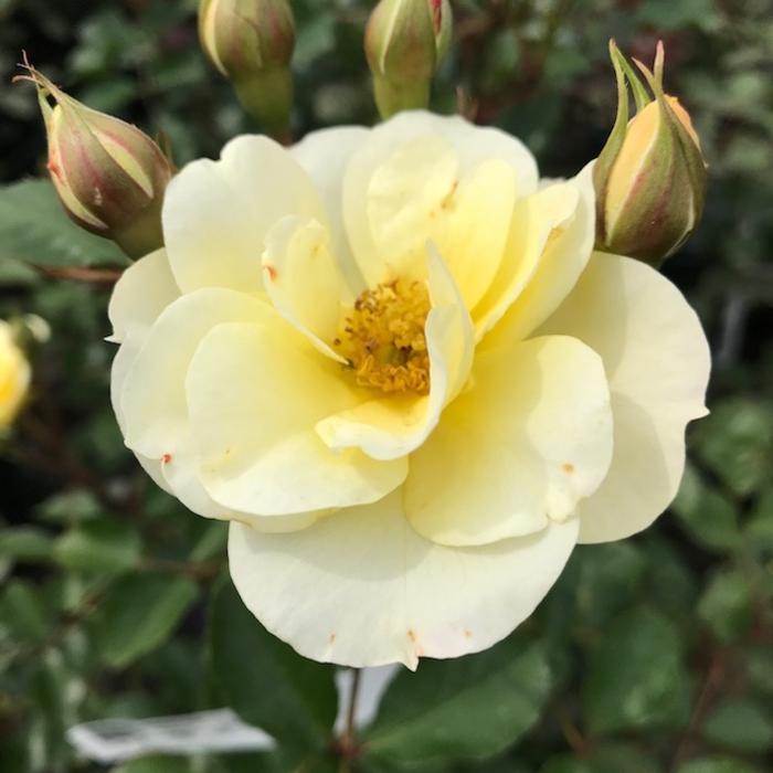 #3 Rosa Sky's The Limit/Climbing Rose Yellow NO WARRANTY