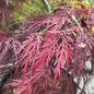 #10 Acer pal var diss Inaba Shidare/Red Select Japanese Maple Red Weeping