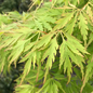 #10 Acer pal var diss Waterfall/Japanese Maple Green Weeping