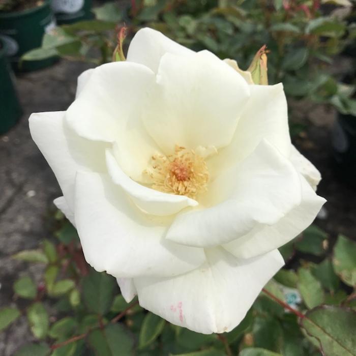 #3 Rosa John F. Kennedy/Hybrid Tea White Rose NO WARRANTY