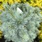 #10 Picea pungens Sester Dwarf/Blue Spruce