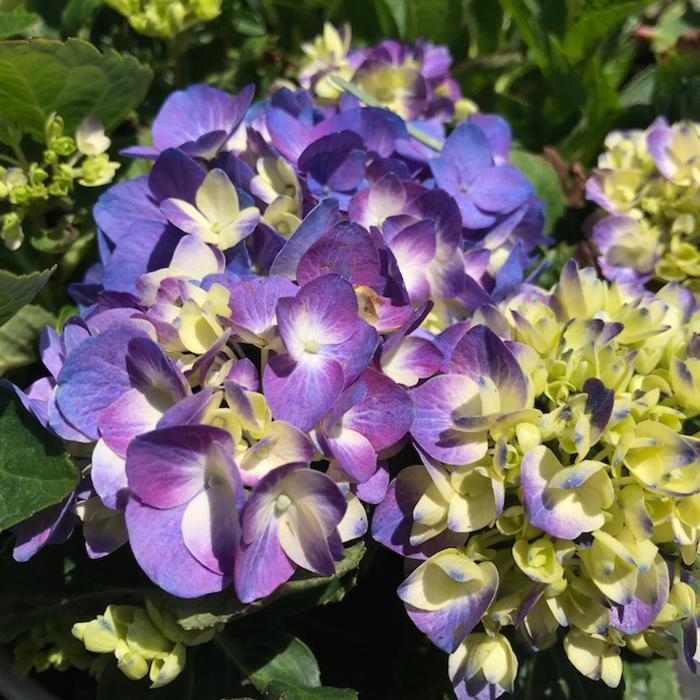 #2s Hydrangea mac Rave (Let's Dance)/Bigleaf/Mophead Rebloom Lavender