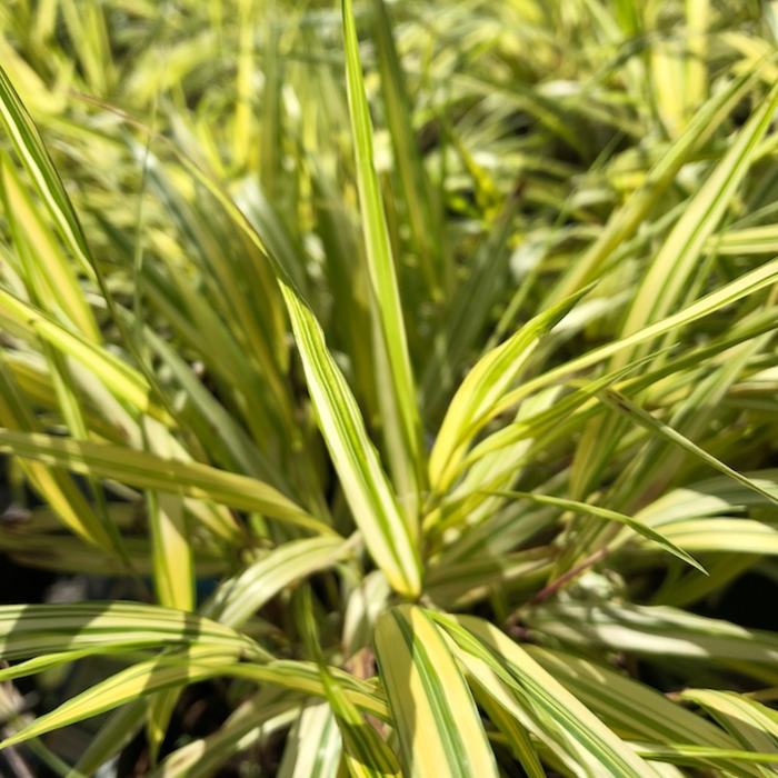 QP Grass Hakonechloa mac Aureola/Japanese Forest