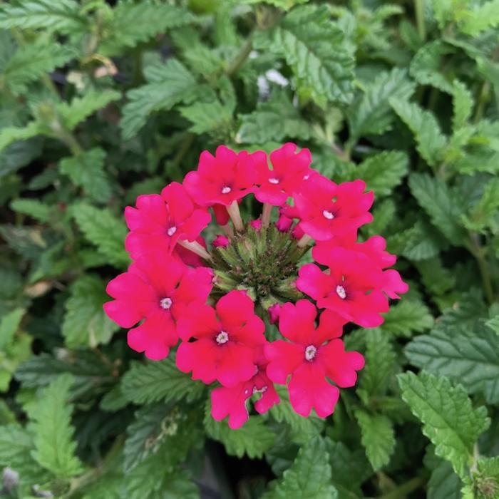 #1 Verbena Endurascape Hot Pink/Annual Not Hardy