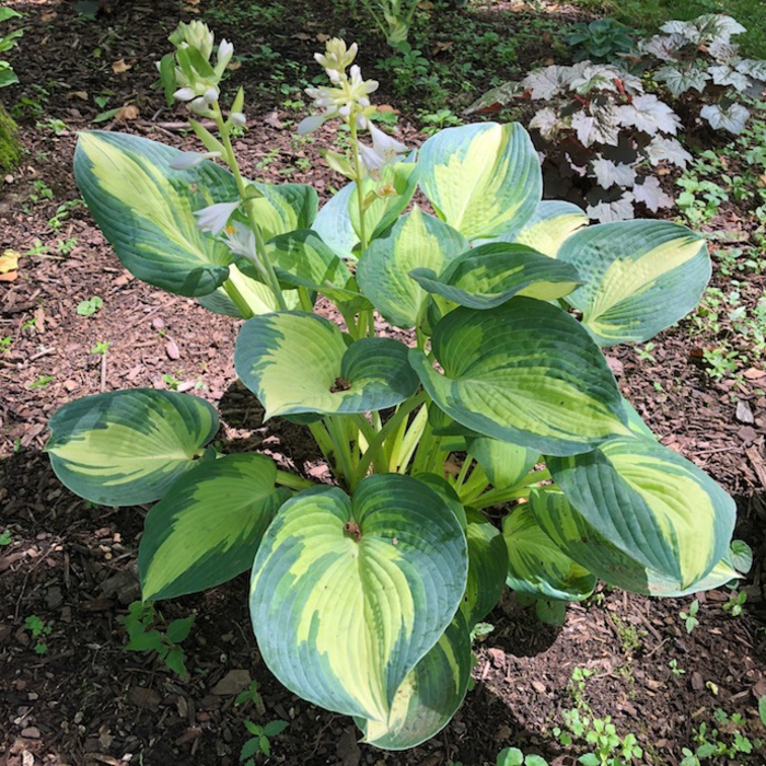 #1 Hosta 'Great Expectations'