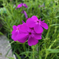 #1 Phlox pan Wanda/Purple