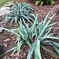 QP Grass Carex flaccosperma/Blue Wood Sedge