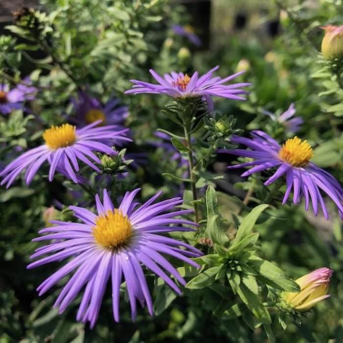 #1 Aster Raydon's Favorite/Aromatic
