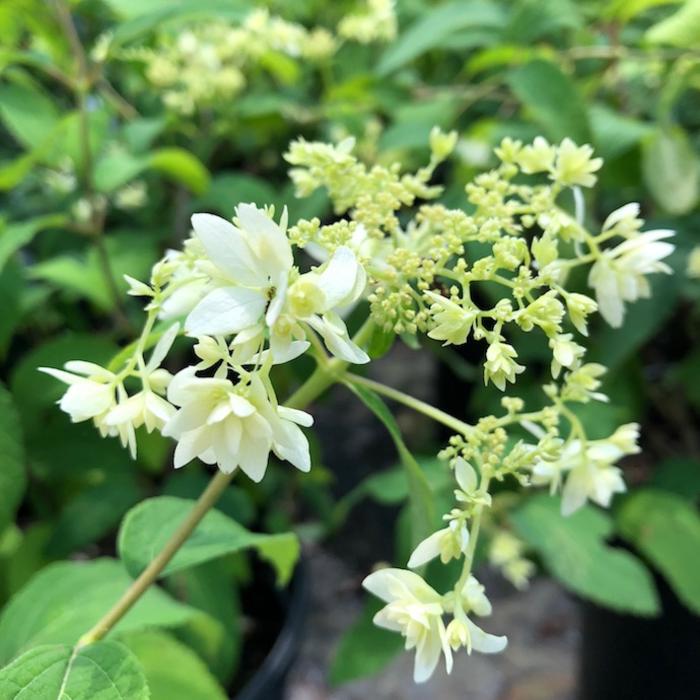 #3 Hydrangea arb Hayes Starburst/Smooth White (Annabelle Type)