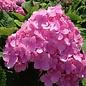 #3 Hydrangea mac Penny Mac/Bigleaf/Mophead Rebloom Blue to Pink