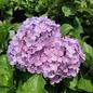 #3 Hydrangea mac Big Daddy/Bigleaf/Mophead Repeat Blue to Pink