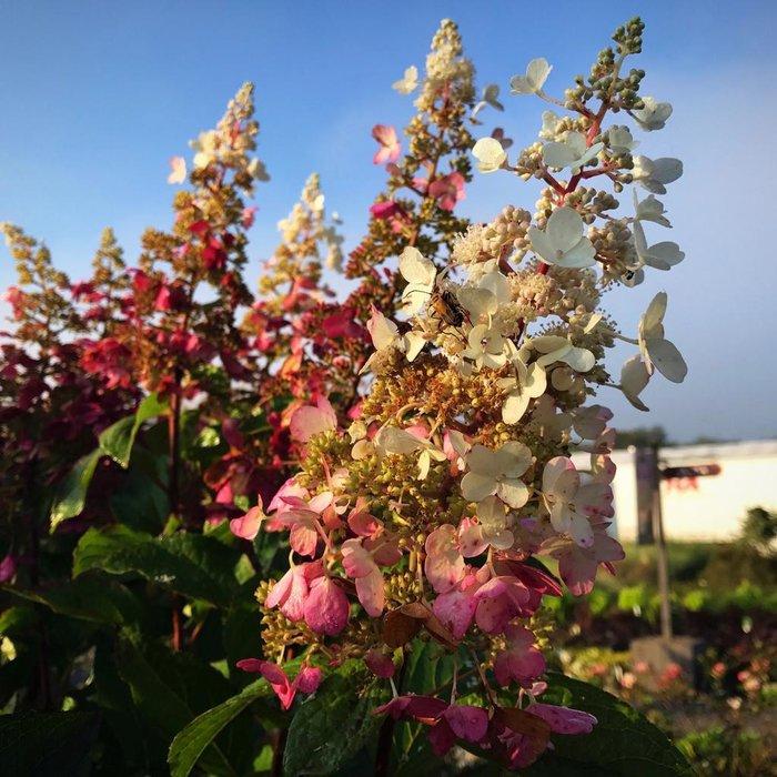 #15 Patio Tree Hydrangea pan Pinky Winky/Panicle White to Dark Red