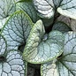 #1 Brunnera Sea Heart/Siberian Bugloss