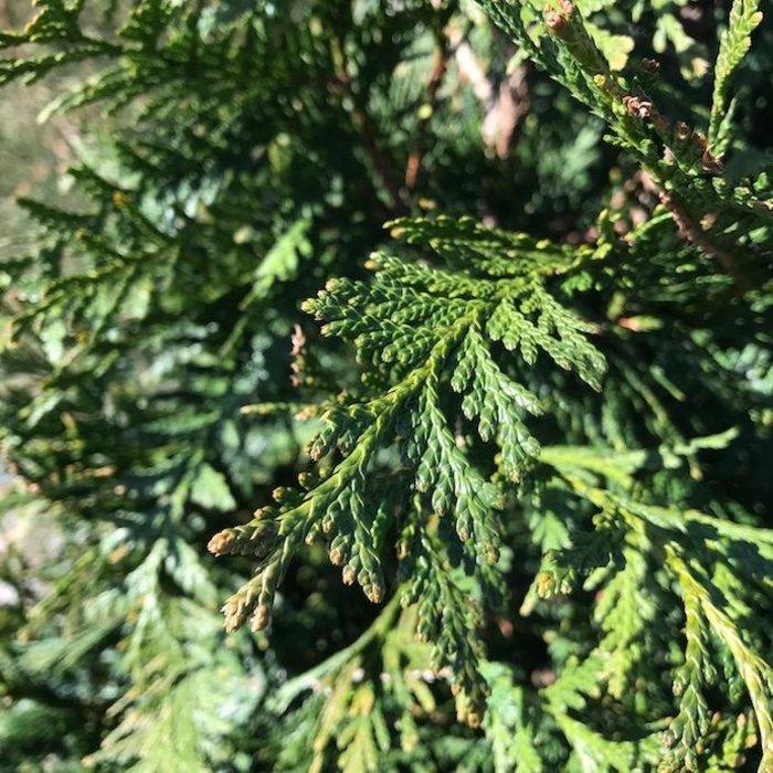 #1 Thuja x Green Giant/Western Arborvitae Pyramidal