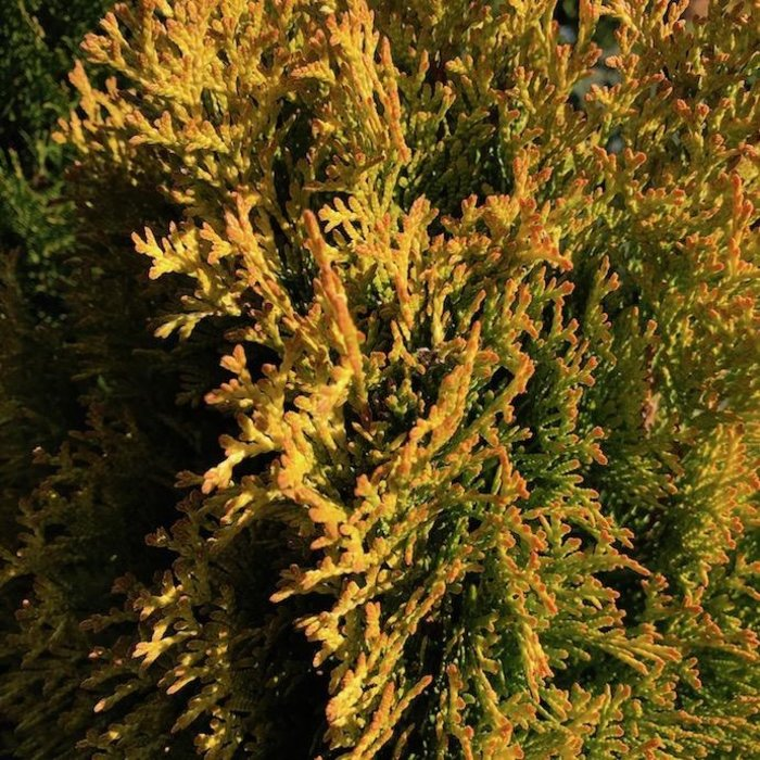 #10 Thuja occ Janed Gold/Highlights Arborvitae Pyramidal