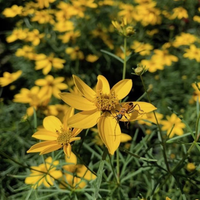 QP Coreopsis v Zagreb/Threadleaf Tickseed
