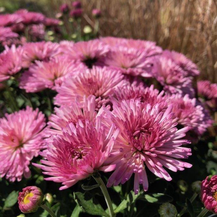 #1 Dendranthema Fireworks Igloo/Pink Chrysanthemum