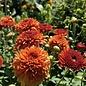 #1 Dendranthema Warm Igloo/Bronze Chrysanthemum