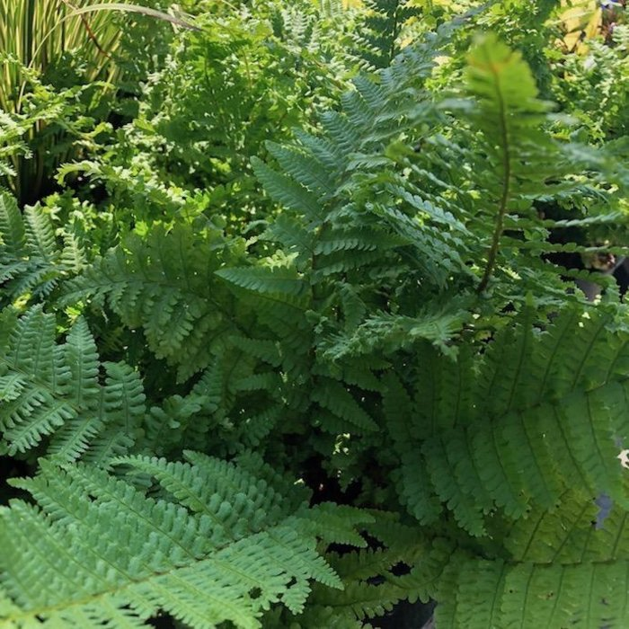 #1 Dryopteris filix-mas Parsley/Male Fern