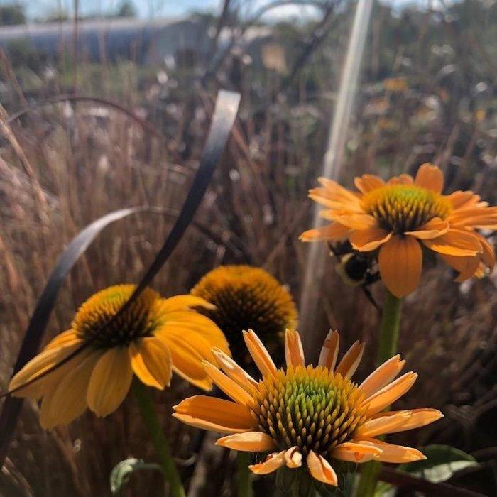 #1 Echinacea Sombrero Granada Gold/Coneflower