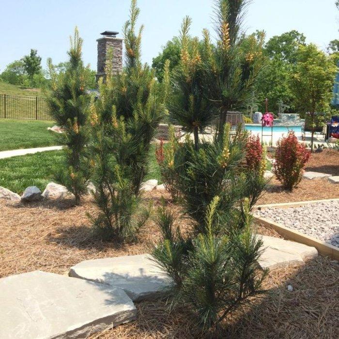 #15 Pinus strobus Stowe Pillar/Columnar Pine